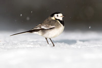 Pied Wagtail-A5