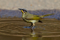 Purple-gaped Honey eater