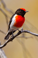 Red-capped Robin-A2