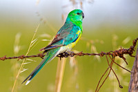 Red-rumped Parrot-A1