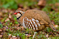 Red-legged Partridge-A2