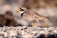 Ringed Plover-A1