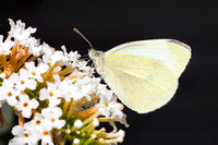 Small White Butterfly-A1