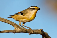 Striated Pardelote