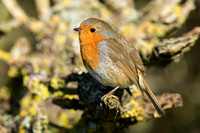 Robin in a Blackthorn hedge
