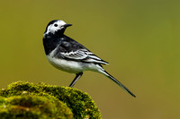 Pied Wagtail-8