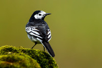 Pied Wagtail-9