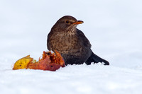 Female Blackbird with windfall apples in the snow - Combe Hill, Devon