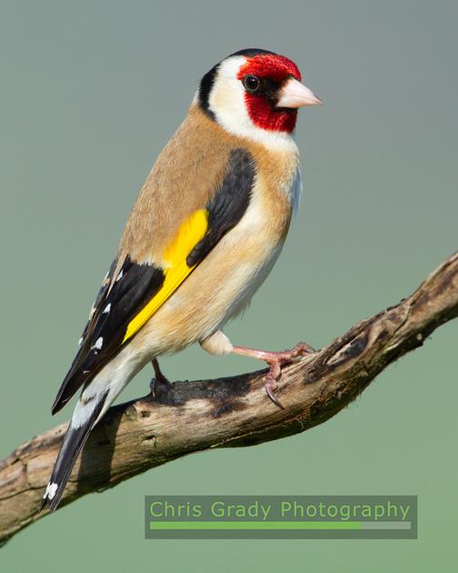 Goldfinch 210418