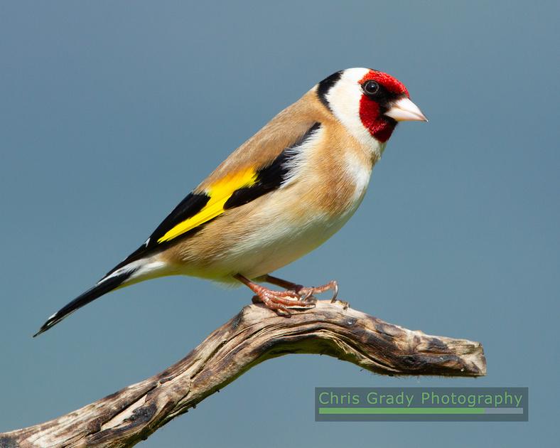 Goldfinch 210418 2