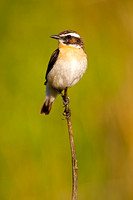 whinchat-A2