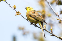 Yellowhammer-A2