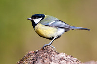 Great Tit-A3