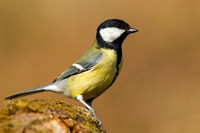 Great Tit-A5