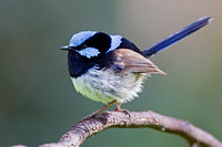 Superb Fairy-wren-A1