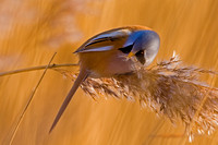 Bearded Tit-7
