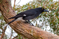 Grey Currawong-A1