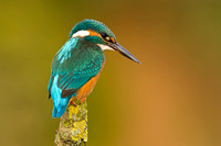 Kingfisher at rest