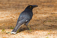Grey Currawong-A2