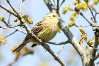 Yellowhammer-A3
