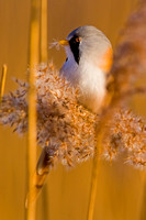 Bearded Tit-4