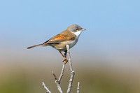 Whitethroat-A2