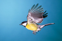 Great Tit-A10