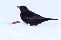 Blackbird in snow with a rotten windfall apple - Combe Hill, Devon