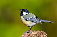 Great Tit-A2