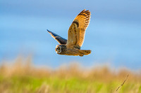 Short-eared Owl quartering - Gloucestershire