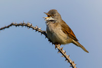 Whitethroat-A1