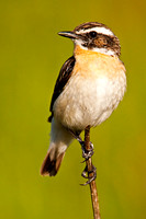 Whinchat-A3