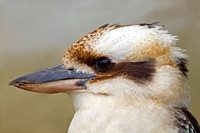 Laughing Kookabuura