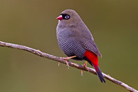 Beautiful Firetail-A1
