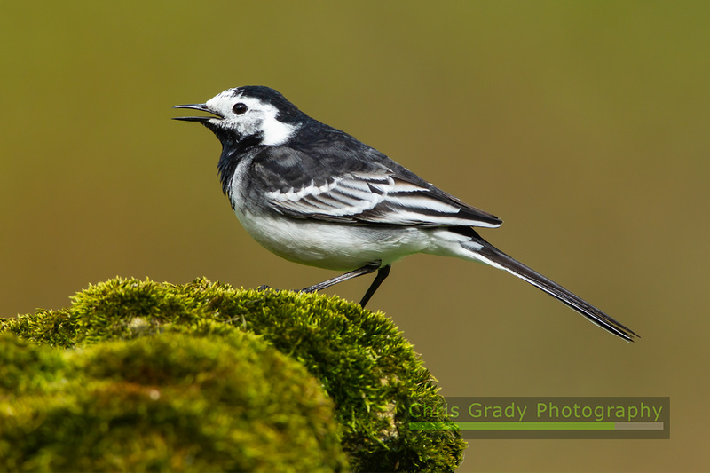 Pied Wagtail-7