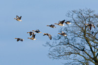 White-fronted Goose-2